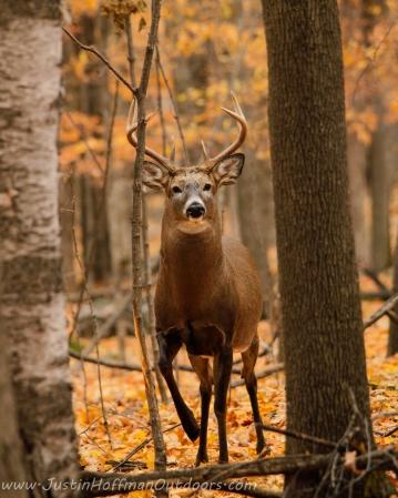 Whitetail Deer - Print #15