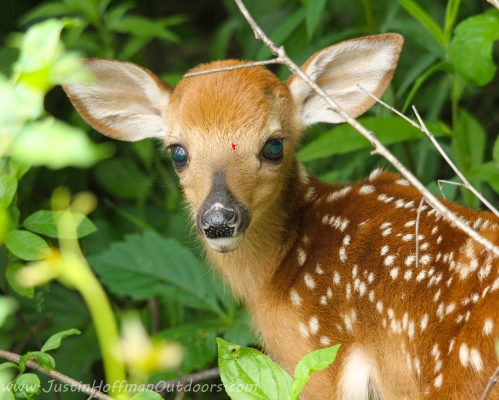 Whitetail Deer Fawn - Print #20