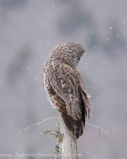 "Great Gray Owl - ""Solitude"" - Print #14"