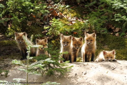 "Red Fox - Print #18 (8 x 12"")"