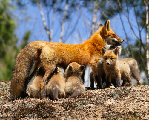 Red Fox - Print #17