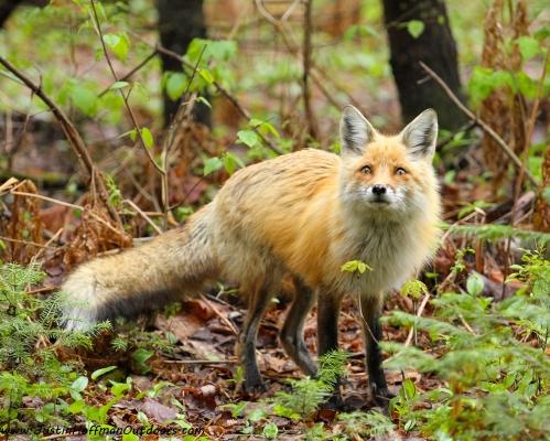 Red Fox - Print #16