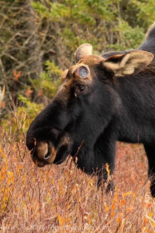Moose - Print #13