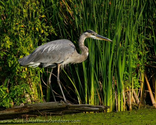 Great Blue Heron - Print #12