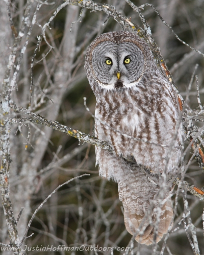Great Gray Owl - Print #01