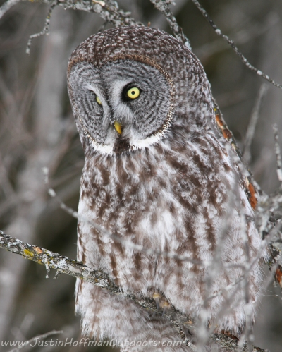 Great Gray Owl - Print #02