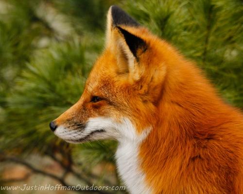 Red Fox - Print #04