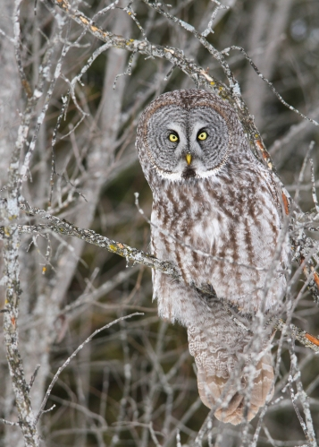 Great Gray Owl - Card #2