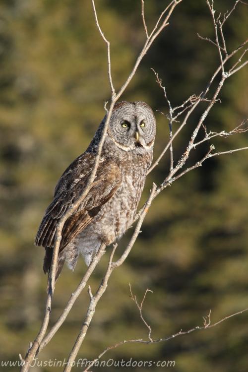 Owl03