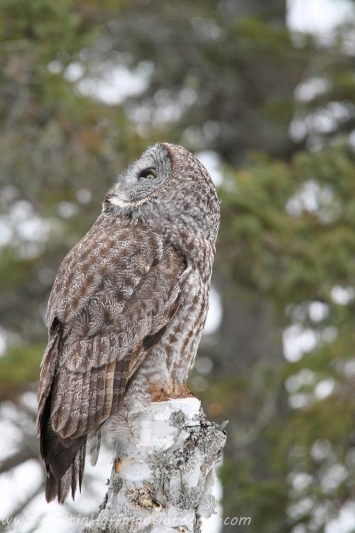 Owl27