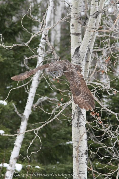 Owl33