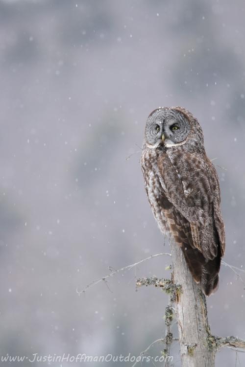 Owl37
