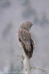 Owl38