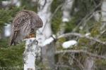 Owl39