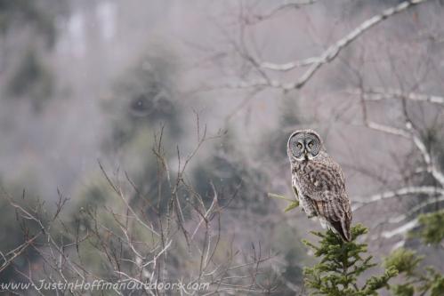 Owl41