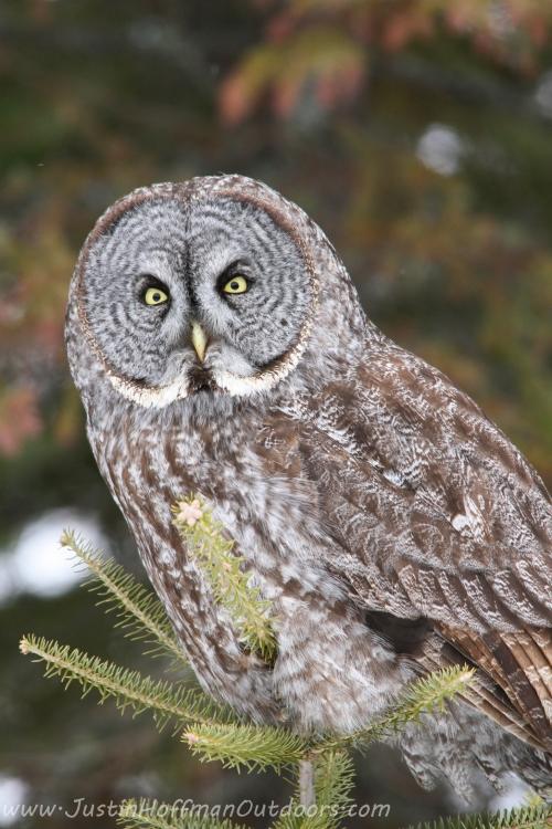 Owl43