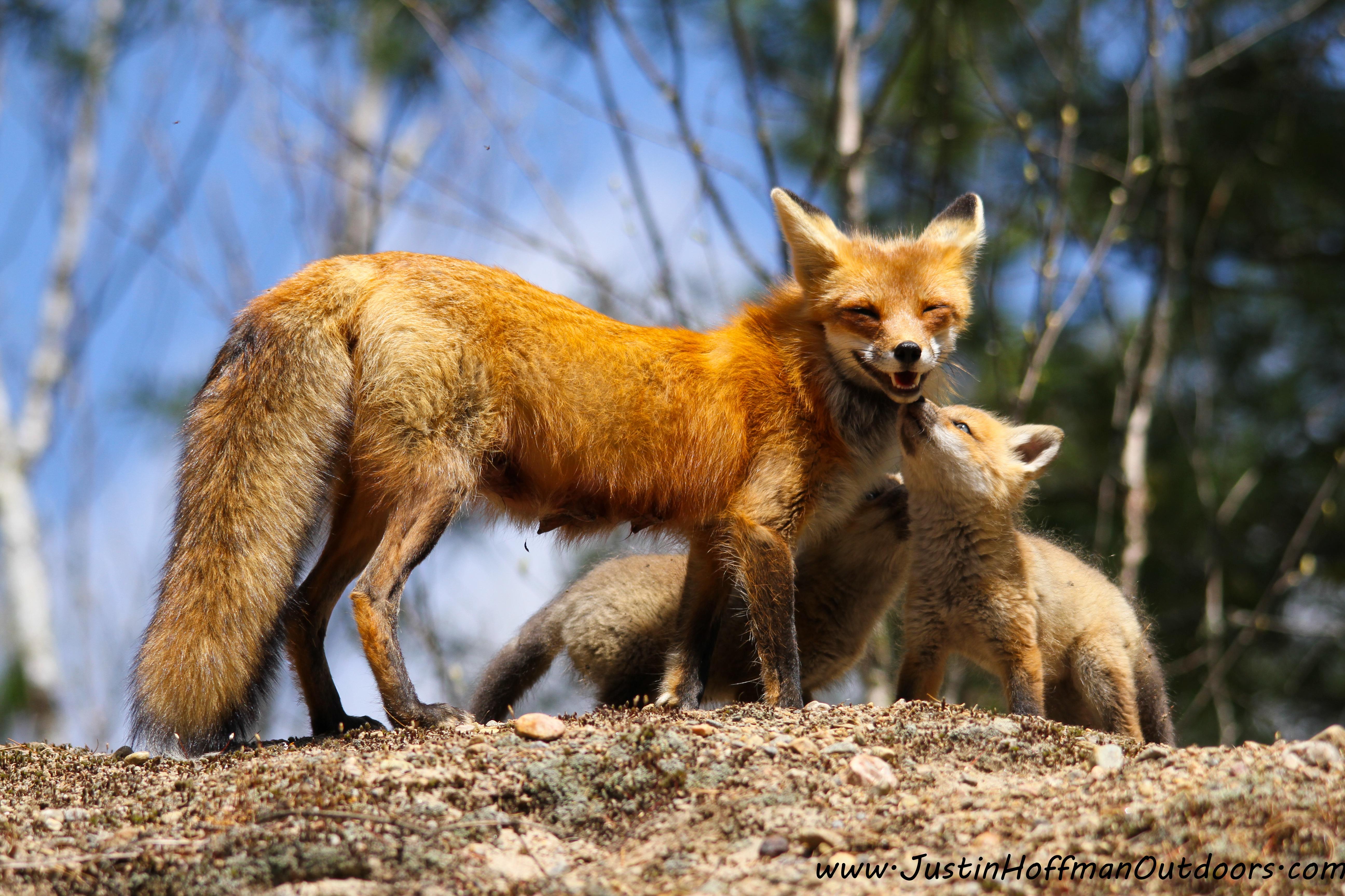 red fox fur nebula - photo #32