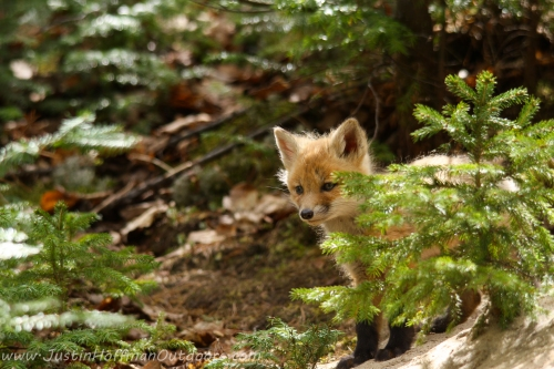 YoungFox
