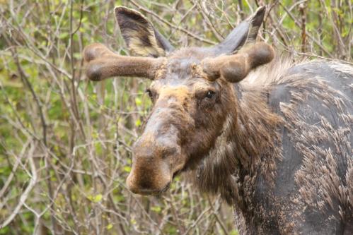April - Moose