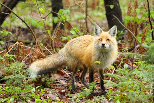 August - Red Fox