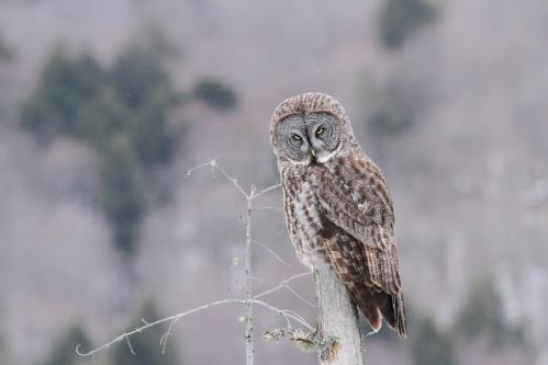 December - Great Gray Owl