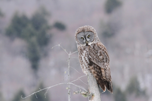 December - Great Gray Owl