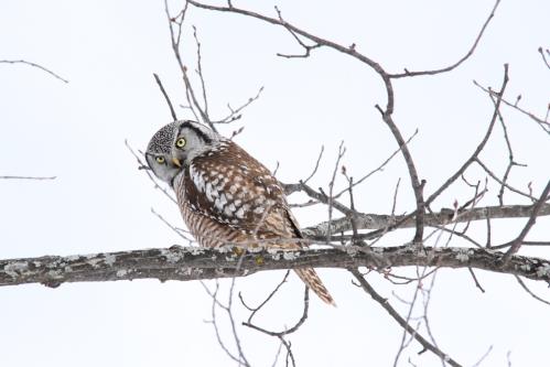 February - Northern Hawk Owl