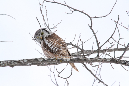 February - Northern Hawk Owl