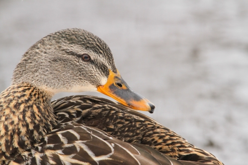 March - Mallard Duck
