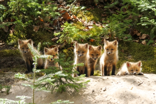 May - Red Fox Kits