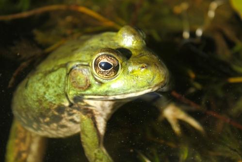 September - Bullfrog